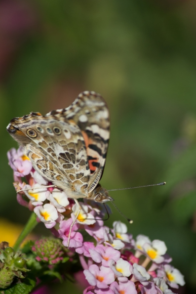 A Painted Lady butterfly (Vanessa cardui) rests on a West Indian Lantana (Lantana urticoides) flower in the Texas Tech horticulture gardens.