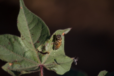This bee is foraging on a cotton plant leaf. Bees use celulose from plants to build their nests.