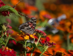 A Painted Lady butterfly (Vanessa cardui) seeking necter from a red Lantana flower.