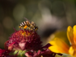 This honey bee is collecting necter from a Mesa Red Gaillardia flower.