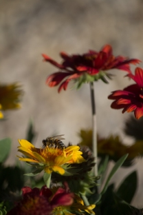 This bee is seeking nourishment amongst mixed Gaillardias, more commonly known as Blanket flowers