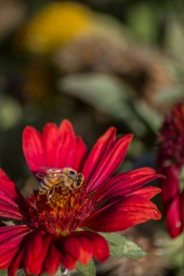 A honey bee Seeking necter and pollen on a Mesa Red Gaillardia. Honey bees play a large role in pollination of Texas wildflowers.