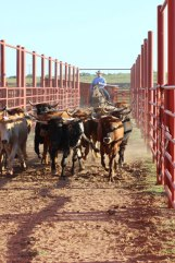 A day's work is never the same for this cowboy. He could be in the practice pen preparing to win a world championship or out on the ranch gathering cattle.