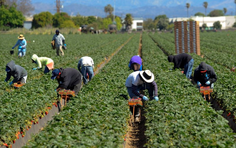 Immigrant workers in a field. Photo courtesy of Gus Ruelas/Reuters with The Daily Beast