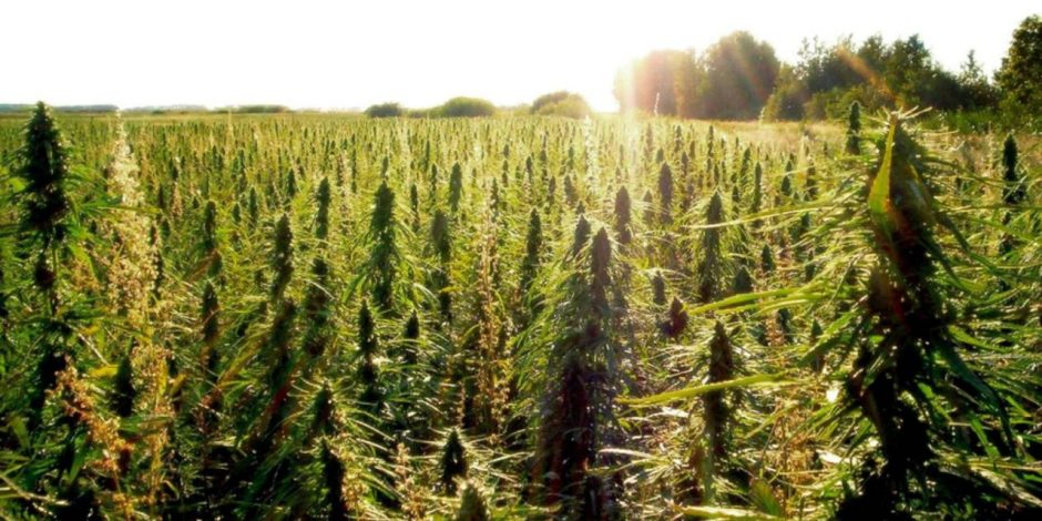 Field of Industrial Hemp