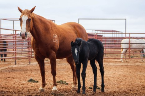 When foaling in stalls, each mare and foal pairs are given their own runs in the mare barn.