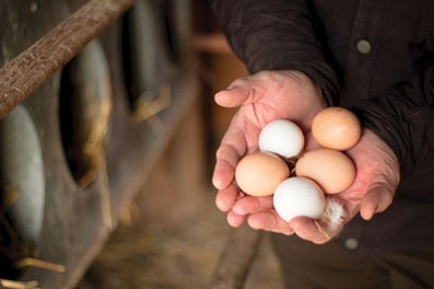 Brandon Ray collects fresh eggs daily on his ranch in Canyon, Texas.